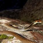 Cobra espada (Chironius flavolineatus)
