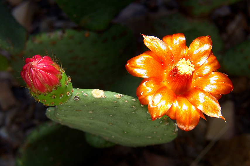 Flor de cactus (Opuntia sp.)